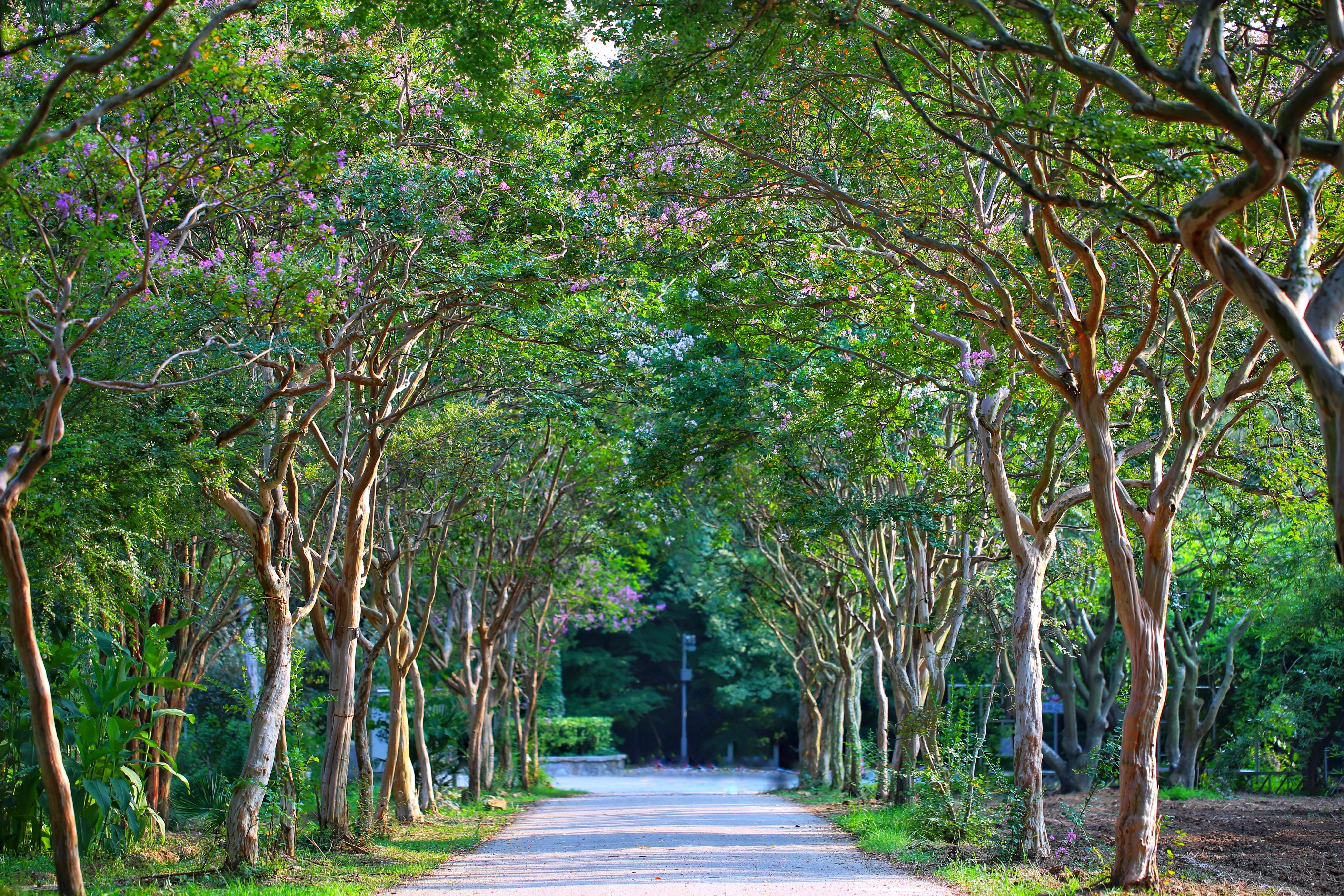 【紫金山新闻】独占芳菲当夏景,不将颜色托春风,有条紫薇隧道美了