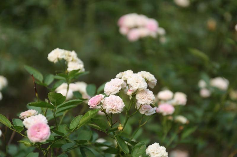 【金陵晚报】【植物志】立秋后,蔷薇园里的花你看了吗?