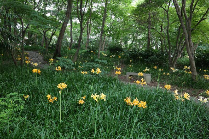 【植物志】植物园的魔幻彼岸花花期已至,未来2个月可赏