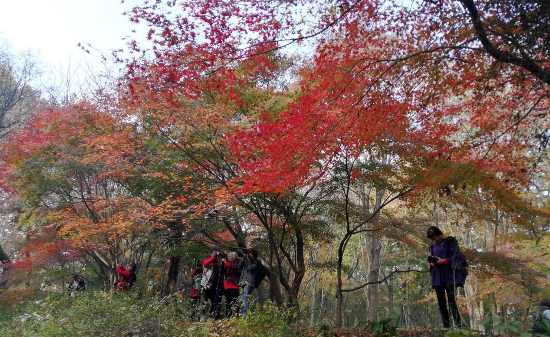 """【金陵晚报】植物志""""枫""""情万种,红枫岗就这样红了"""