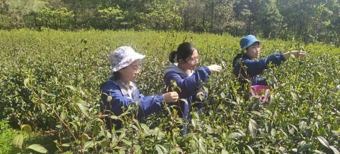 十三中的學生們在浦口區行知基地采茶。校方供圖